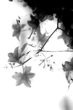 black blackandwhite flowers nature natural