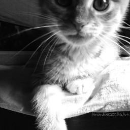 cute cat blackandwhite