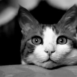 freetoedit pcbeautifuleyes beautifuleyes blackandwhite cat wppanimals dpcpets dpccats dpcanimaleyes pcmypets pccutepets pccats