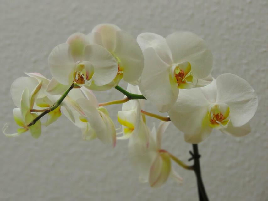 Orchideen #flower #nature