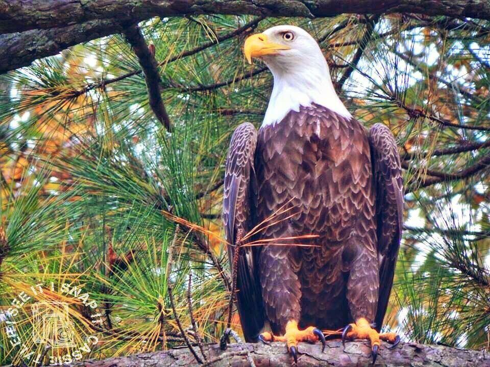 Bald Eagle #baldeagle #eagle #bird #birdwatching #virginia #nikon #nature #naturephotography #inthewild #animals #birdlovers