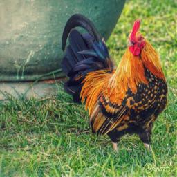 chicken bantam freerangechicken farmphotography poultry