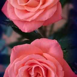 lomoeffect roses emotions love wppfloralcanvas pcbeautyasiseeit