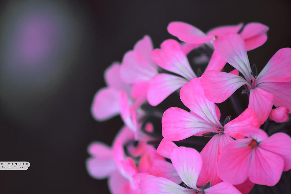 #flower #dark #pink #black #beautiful #beauty