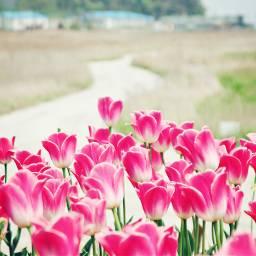 trip travel korea tulips pink flower