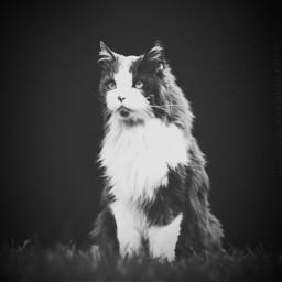 cute blackandwhite photography petsandanimals cats