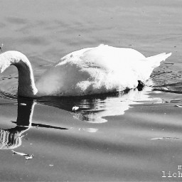 swan petsandanimals blackandwhite photography water