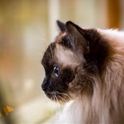 cat ragdoll petsandanimals pet