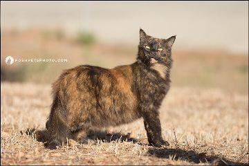 barncat cat tortoiseshell