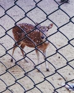 ilovemyclick photography petsandanimals deer nature