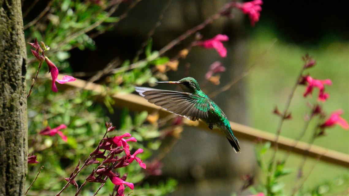 Colibrí #colorful #flower #nature #emotions #petsandanimals #quotesandsayings #photography #bird #nikon