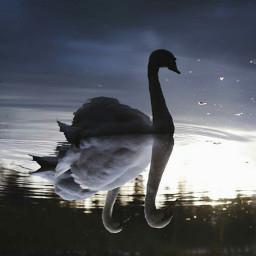 swan blackswan whiteswan instalove waterreflection