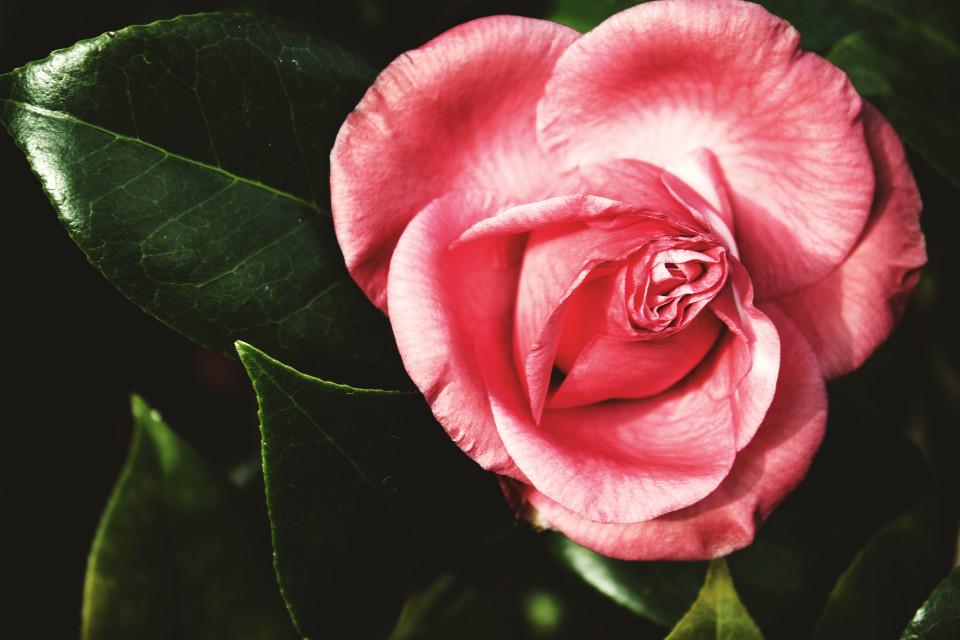 #photography #flower #tint #pink #drama
