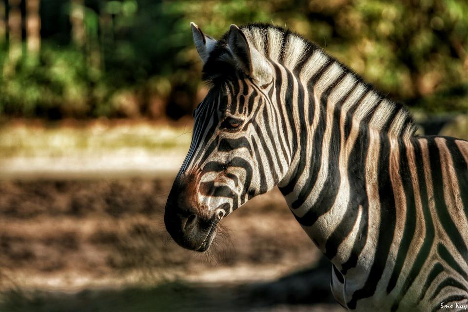 #photography #nature #petsandanimals #blackandwhite #animals #zoo  #stripes