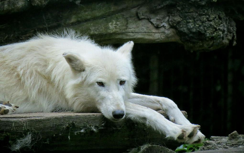 #petsandanimals #wolf #zoo #noedit #closeup #photography