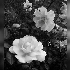 blackandwhite cute FreeToedit photography nature flower flower
