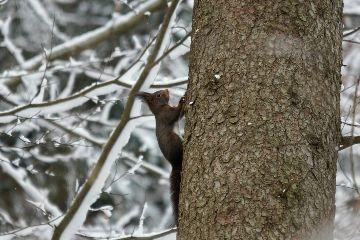 animals squirrel winter snow forest