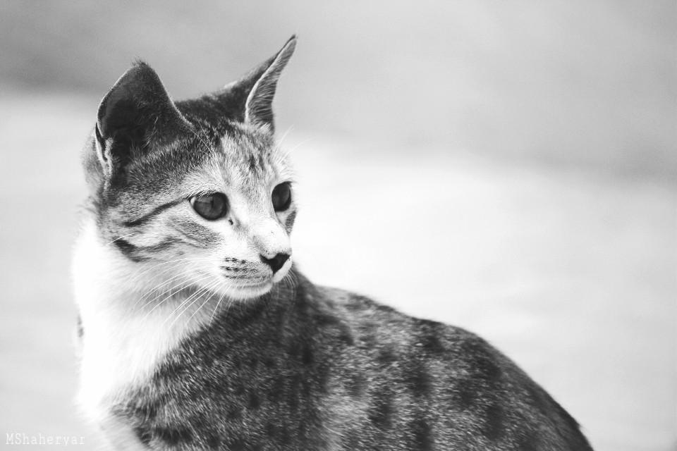 #photography #pets #animals  #stray #straycat #cat #feline #cute #blackandwhite #b&w #catsofpicsart