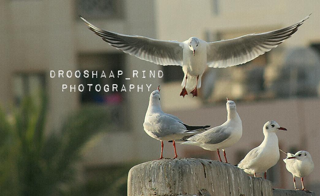 #Seabird #bird #bahrain #photography