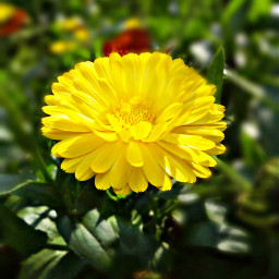 yellow_flower nature photography