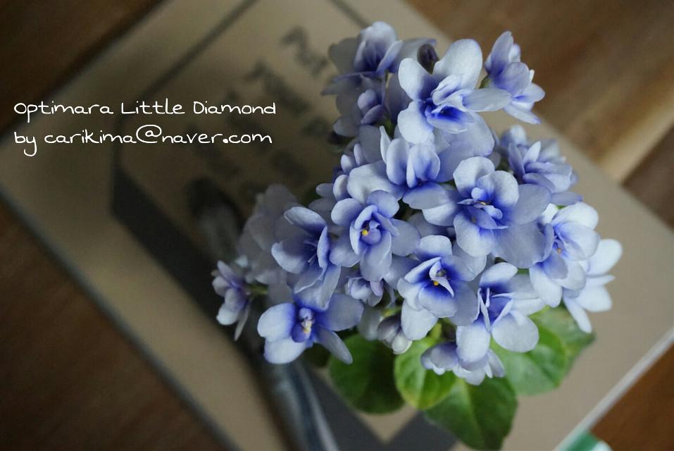 African violet miniature - Optimara Little Diamond  #Africanviolet #optimara_little_diamond #