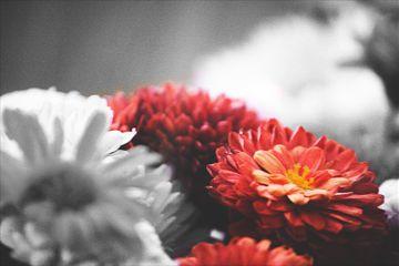 daisy red colorsplash interesting fragile