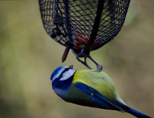 bluetit bird nature wildlife nature_collection