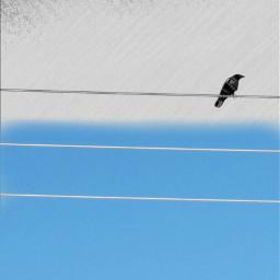 blue bird sky pencilart nature freetoedit