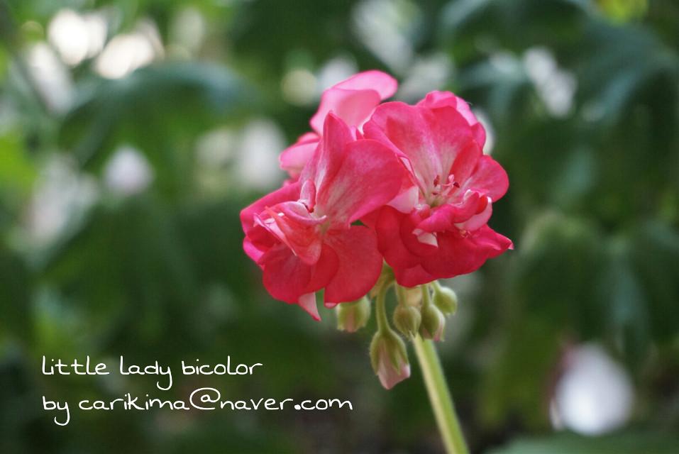 pelargonium - little lady bicolor  #pelargonium  #little_lady_bicolor