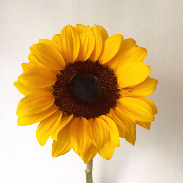 When it comes, a brighter day. #sunflowers #sun #photography #plants
