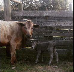 newlife cows farmliving