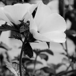 mirrorsflowers flower nature photography blackandwhite