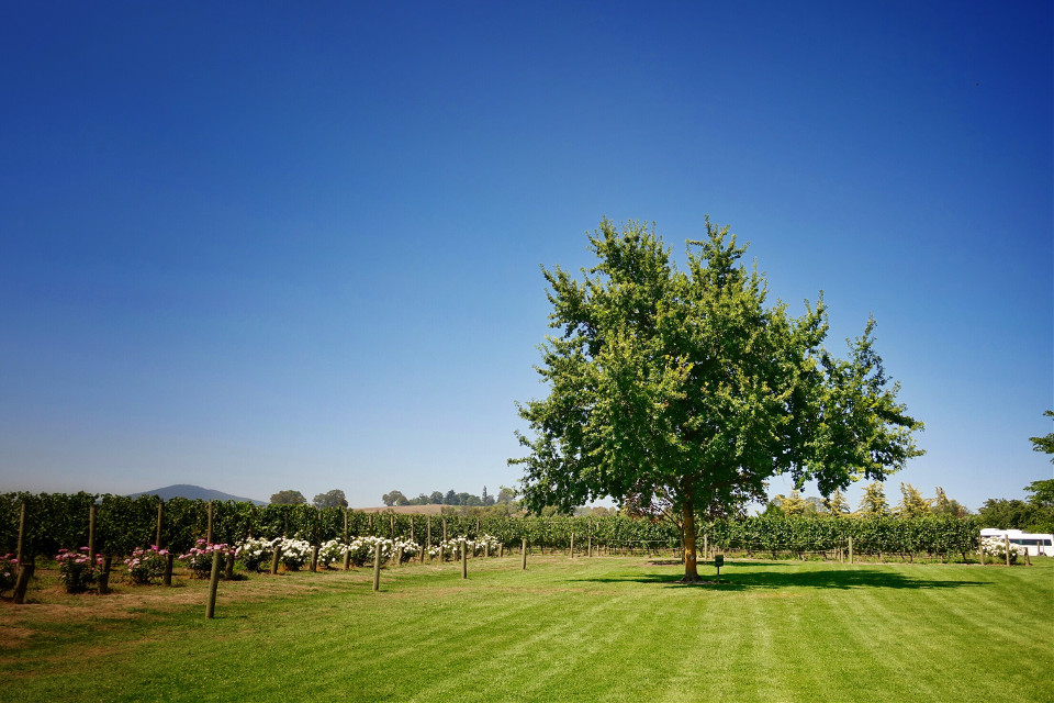 Chandon Winery, Melbourne, Australia. #tree #vinyard #winery #melbourne #australia