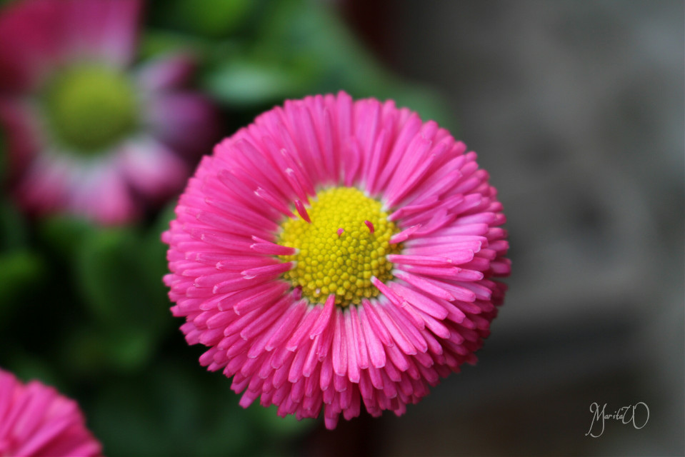 Good evening dear friends. #flower #blossom #daisy #colorful #nature #photography #plant #pink