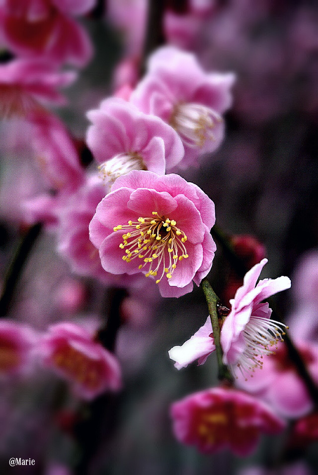 Blossoms series   #blossom  #spring  #closeup  #softfocus  #tiltshift  #adjusttool