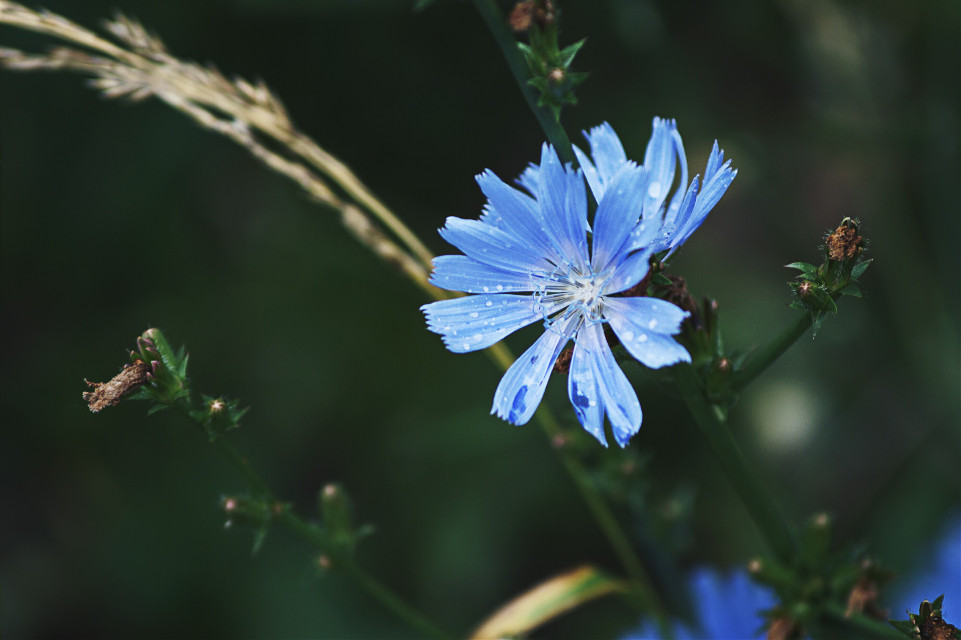 #flower #nature #blue #chickory