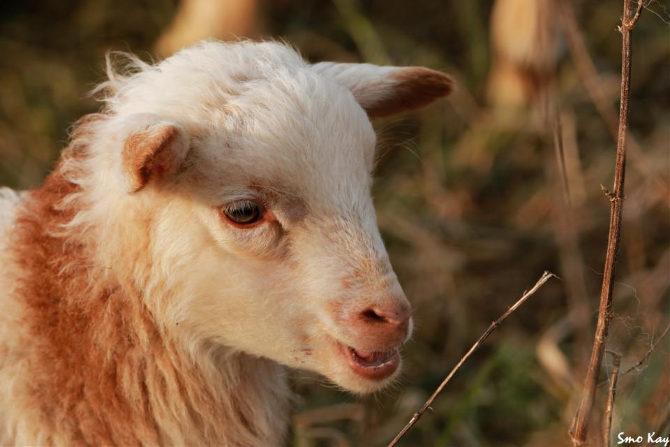 #lamb #photography #nature #petsandanimals #animals #cute #wildlife