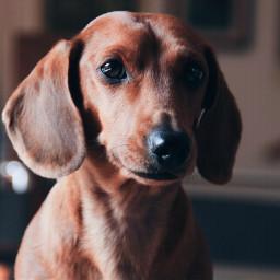 dog pup puppy dachshund doxie