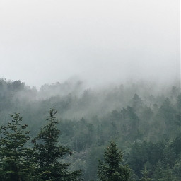chasingfog trees pines evergreen forest freetoedit