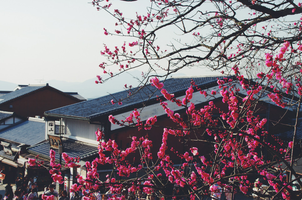 「京都,梅花」  #cute #flower #nature #photography #travel #colorful