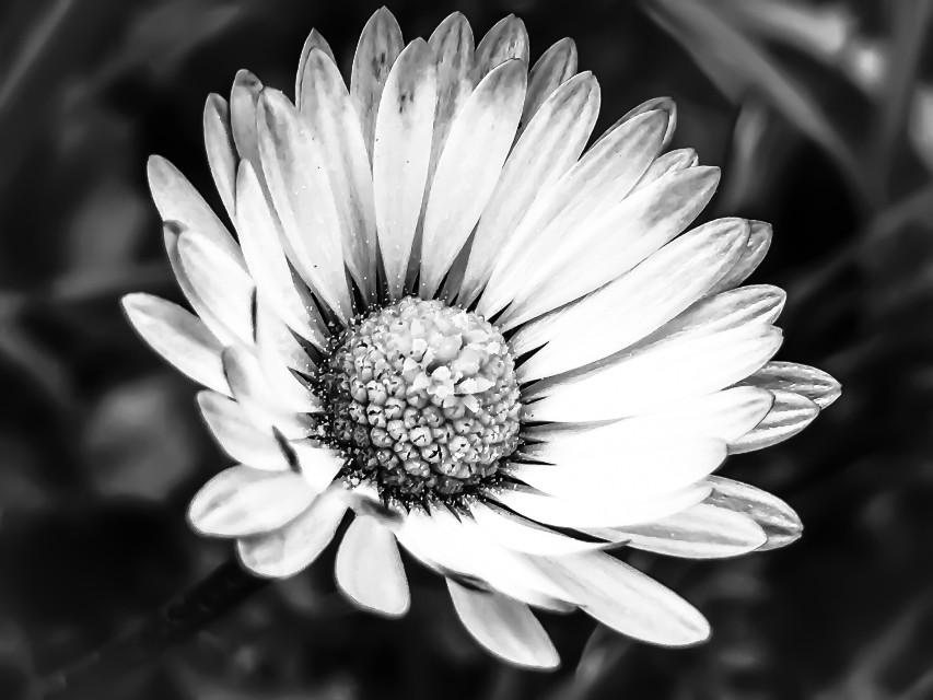 #flower #naturephotography #marguerite #whiteandblack #daisy #blackandwhite