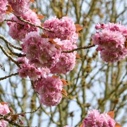 cherryblossom spring pink getoutside flowers