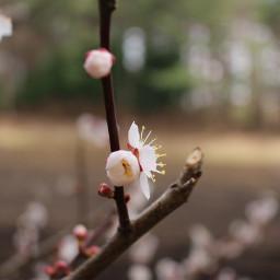 japan plumblossom