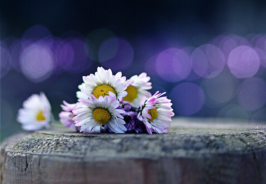 #daisy  #macro  #bokeh  #purple  #light
