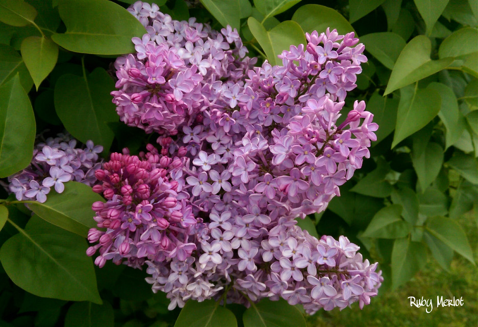 #garden #lilacs #nature #photography #flower #colorful  #spring #seasons #fragrance #nofilter