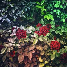 comiceffect roses maskoverlay leaves