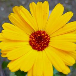 freetoedit yellow colorful flower nature