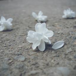 flower white nature macro photography