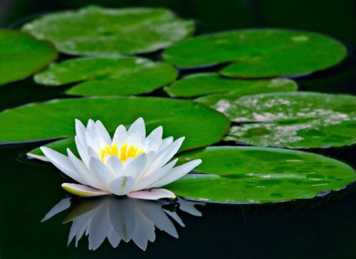 #waterlily #asia