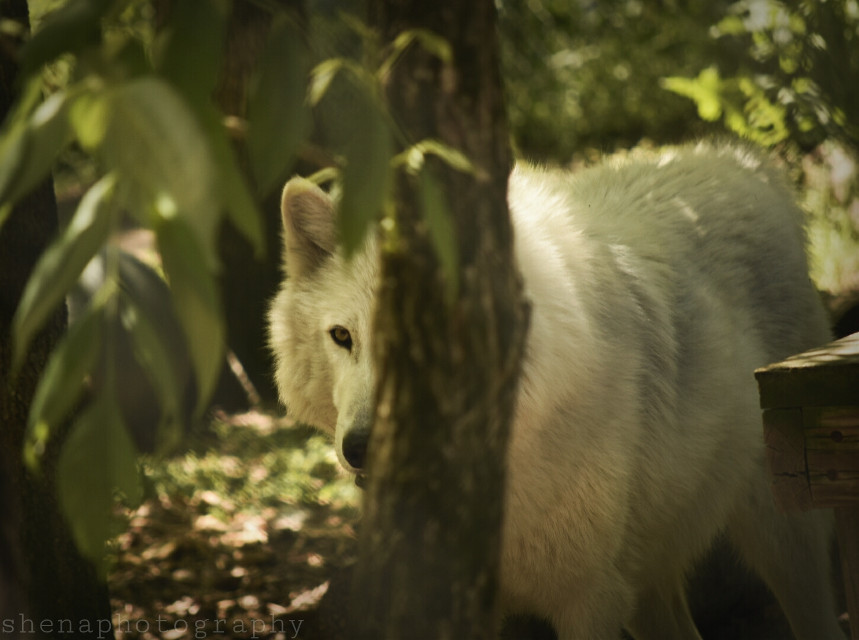 Don't ever mistake My silence for ignorance My calmness for acceptance Or my kindness for weakness -Unknown #wolf #nature #tree #emotions  #quotesandsayings #petsandanimals  #photography
